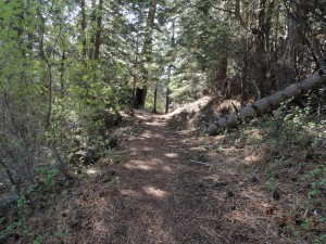 Just below Vincent Gap (trailhead) the Vincent Gulch trail enters into a tranquil forest of Ponderosa, Sugar pine and Incense Cedar.  Squaw currant abounds on the forest floor.