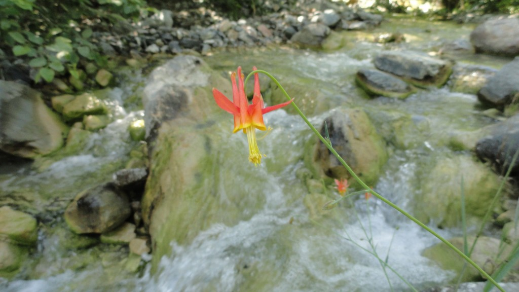 This columbine flower graces the tumbling stream of the Upper East Fork of the San Gabriel River.