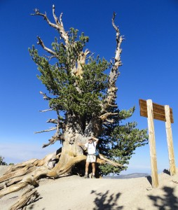 The author takes a break at the base of a wind-sculpted limber pine near the summit of Mt. Baden-Powell, San Gabriel mountains, CA.   At this elevation of 9,300', the sky appears to be nearly cobalt blue.