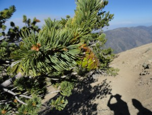 Here's a close-up of needles and accompanying cone on a limber pine, Mt. Baden-Powell, San Gabriel mountains, CA.   Short needles are sheathed in clusters of five.  The clusters of needles are concentrated at the ends of cord-like branches which withstand the very high winds that occur high on the mountainside.