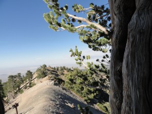 A view from part way up a limber pine.  Looking toward the north, you can make out the faint outline of the Pacific Crest Trail, PCT, as it parallels the left hand side of the ridge.   Note the trail junction sign, where the trail continues on toward the west passing by Mt. Burnham, Throop Peak, Islip Saddle and on along the spine of the San Gabriel mountains.  2,200 miles further, the PCT terminates in British Columbia, Canada.