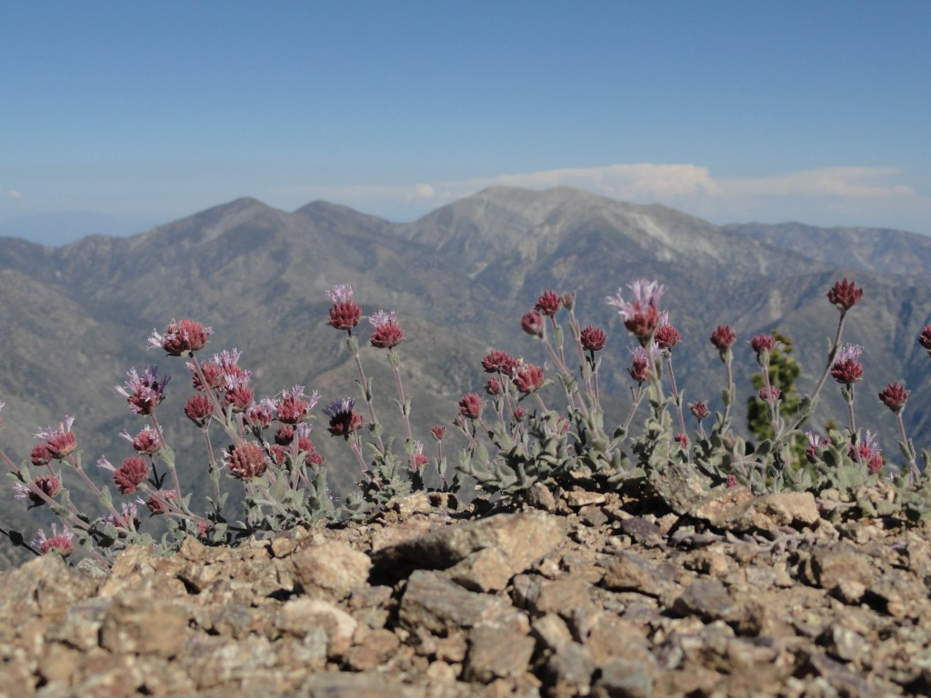 This grouping of alpine wildflowers softens the sharpness of Mt. Baden-Powell's north ridge while nearing the summit.  Pine Mountain, Dawson Peak and Mount Baldy make up the skyline.