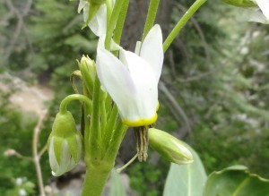 This shooting star is another delicate alpine beauty found in the environs of Lamel Spring.